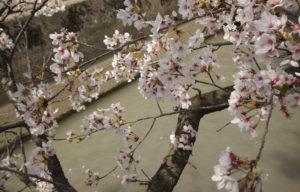 松任中学中村用水の桜アップ2