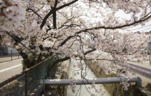 松任中学中村用水の桜1