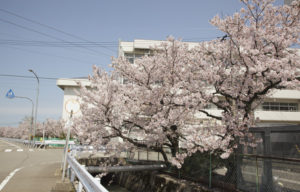 松任中学中村用水の桜2