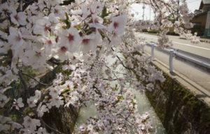 松任中学中村用水の桜3