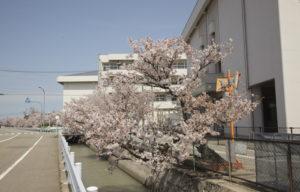 松任中学中村用水の桜4