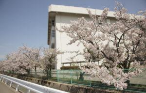松任中学と桜1