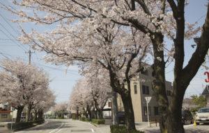 8号線に抜ける前の桜並木