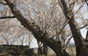 松南グラウンド奥の大きな桜