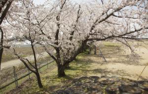 松南グラウンド奥の桜