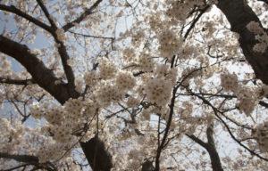 松南グラウンドの桜アップ1