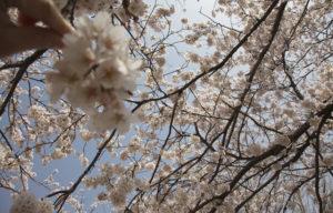 松南グラウンドの桜アップ
