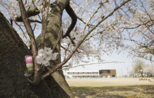 松南グラウンド桜と大松庵の団子
