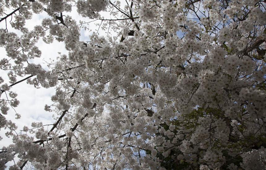 古宮公園桜アップ2
