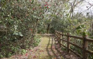古宮公園神社横の道の椿