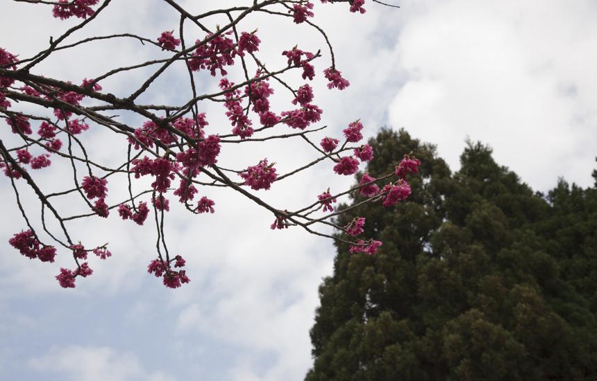 樹木公園のピンク桜