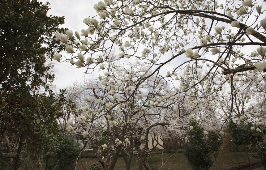 樹木公園のハクモクレン