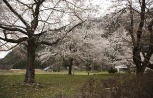 山法師桜の桜