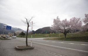 すしべん前の桜入口