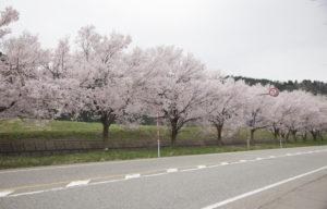 すしべん前の桜横