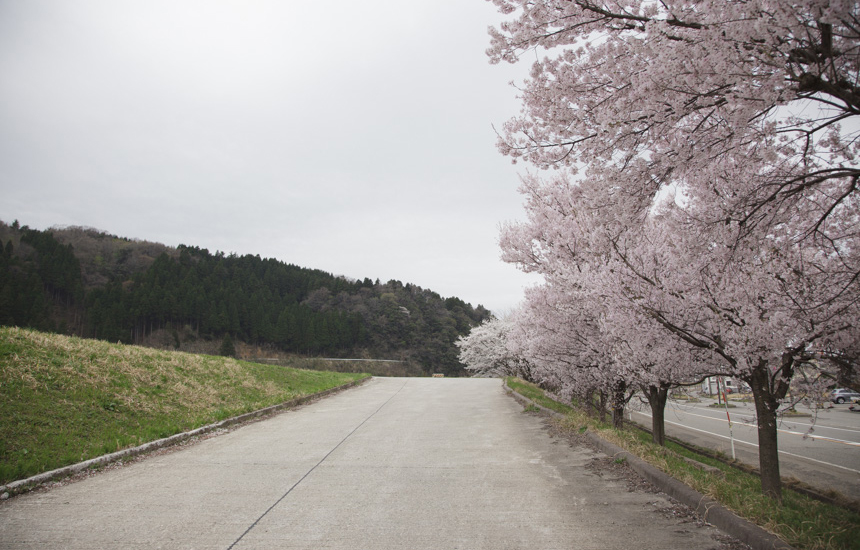 すしべん前の桜の道