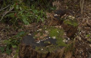 白山比咩神社の木株