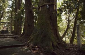 白山比咩神社で一番古い木