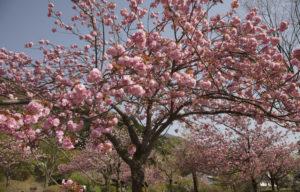 獅子吼入り口の桃の花