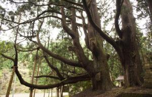 五十谷の大杉1