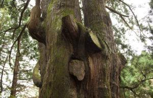五十谷の大杉2