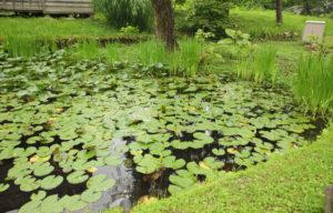 表家の蓮池