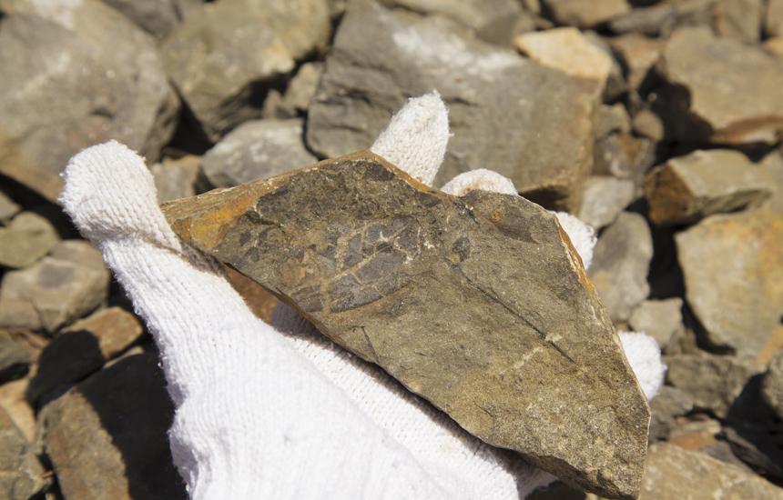 植物の化石
