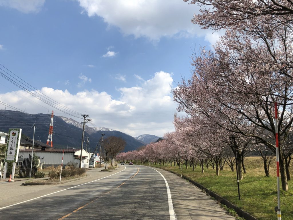 鶴来町の道路沿い、桜が綺麗でした。