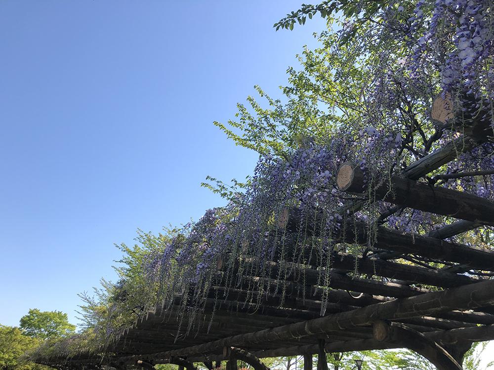 グリーンパークの藤棚、5分咲きといったところ